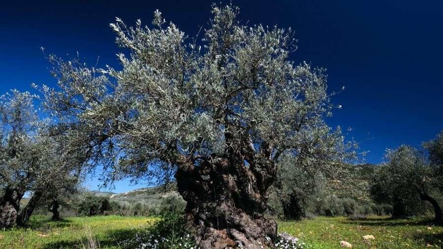 Albero ulivo descrizione, proprietà e benefici