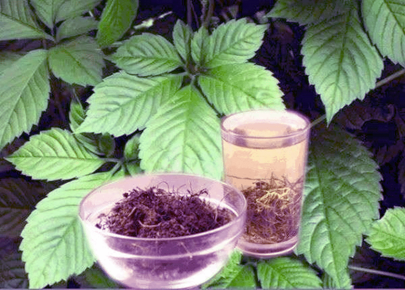 Scopri la gynostemma pentaphyllum