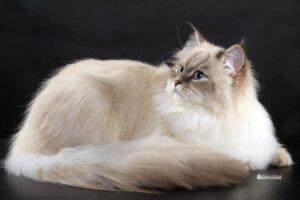 Conosci i gatti ipoallergenici?