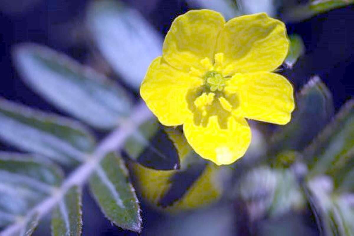 La pianta del tribulus terrestris
