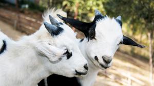 Le capre tibetane