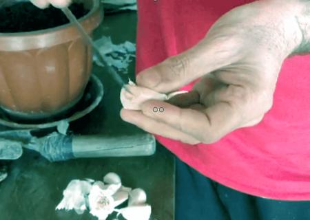 Come piantare aglio